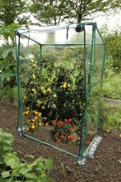 Tomaatti kasvihuone mini